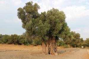 Seferihisar-Agac